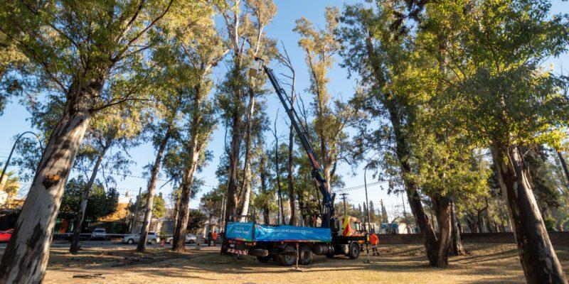 Tras 10 Años, Vuelve La Poda En árboles De Hasta 40 Metros De Altura
